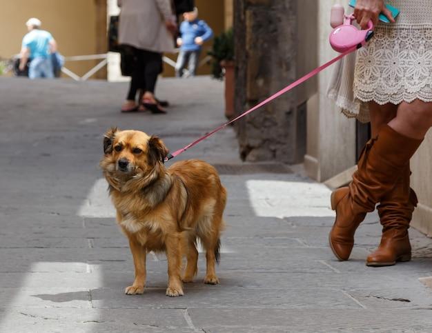 중세 도시 몬테풀치아노 투스카니 토스카나 이탈리아의 거리에 있는 분홍색 가죽 끈에 귀여운 작은 개