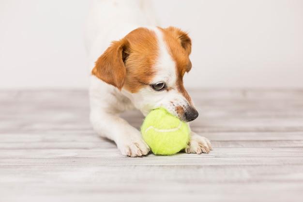 Милая маленькая собака играет с теннисным мячом и весело кусает мяч