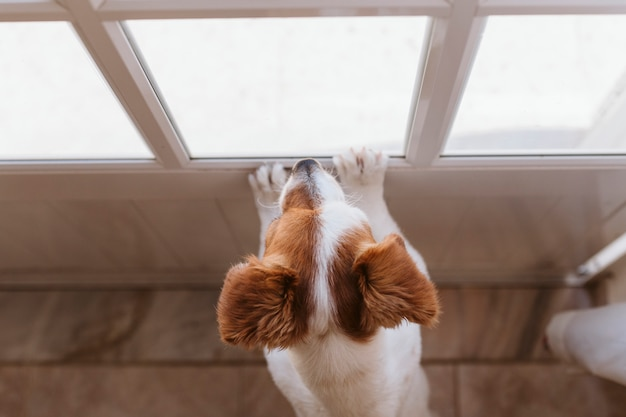Cute small dog standing on two legs and looking away by the window