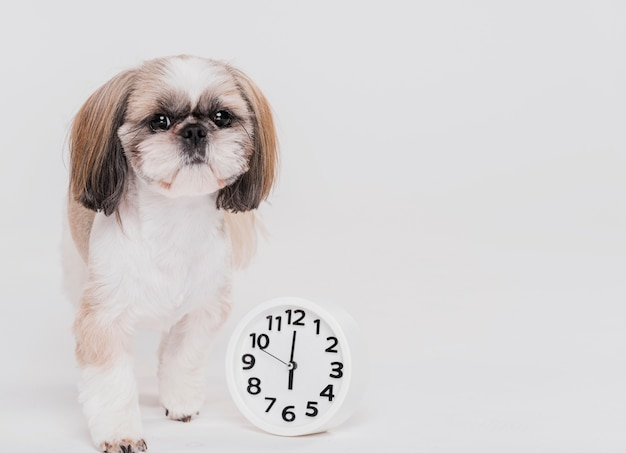 Cute small dog with a clock