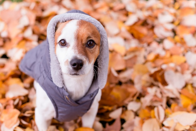 Cute small dog with grey coat sitting on yellow leaves. autumn
