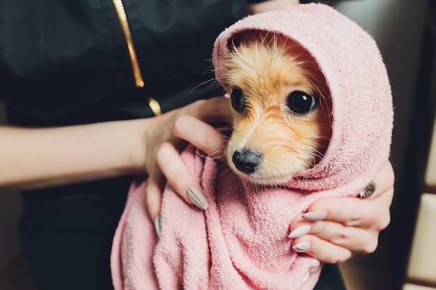 Cute small fluffy pomeranian dog in a white and pink towel after bath, grooming.