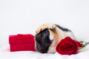 Cute small guinea pig with present box
