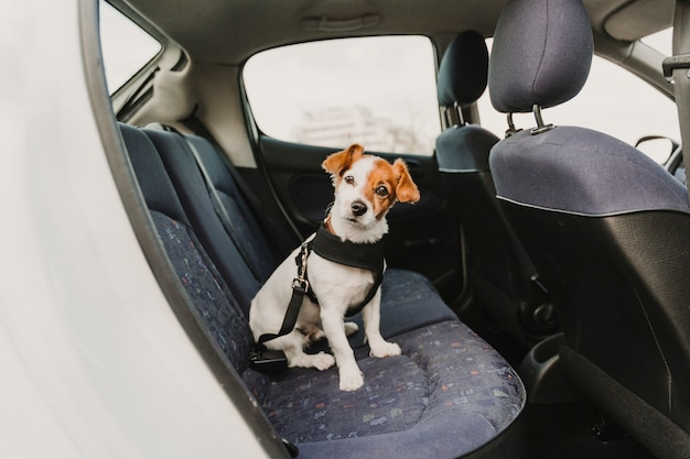 Cute small jack russell dog in a car wearing a safe harness and seat belt
