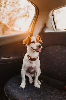 일몰시 차에 귀여운 작은 잭 러셀 강아지 back light.