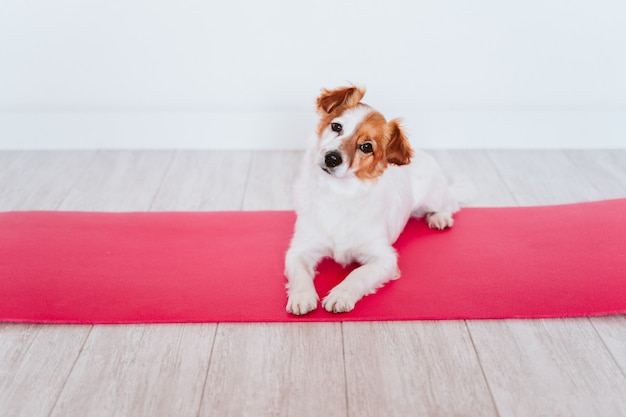 Cute small jack russell dog lying on a yoga mat at home