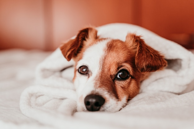 Cute small jack russell dog resting on bed on a sunny day covered with a blanket