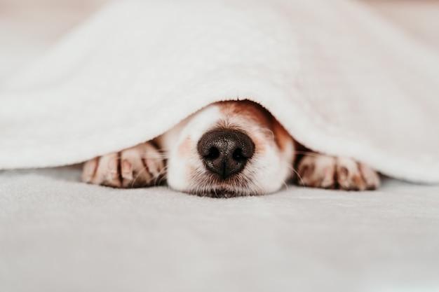 담요로 덮여 화창한 날에 침대에서 쉬고 귀여운 작은 잭 러셀 개