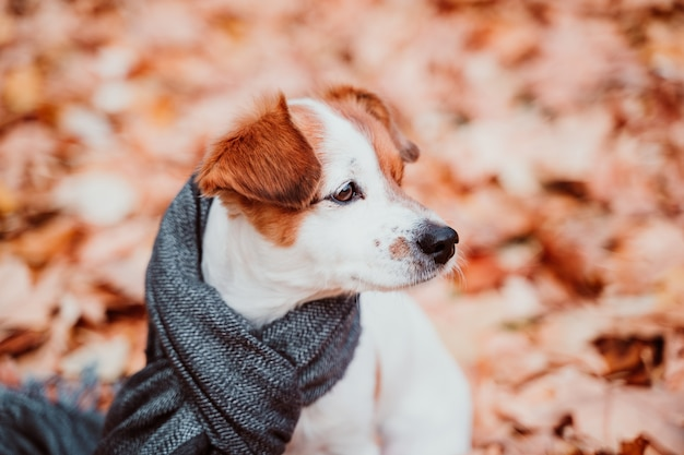 Cute small jack russell dog sitting outdoors on brown leaves background, wearing a grey scarf