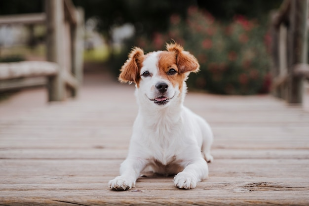 Cute small jack russell terrier dog lying on a wood bridge outdoors and looking for something or someone. pets outdoors and lifestyle