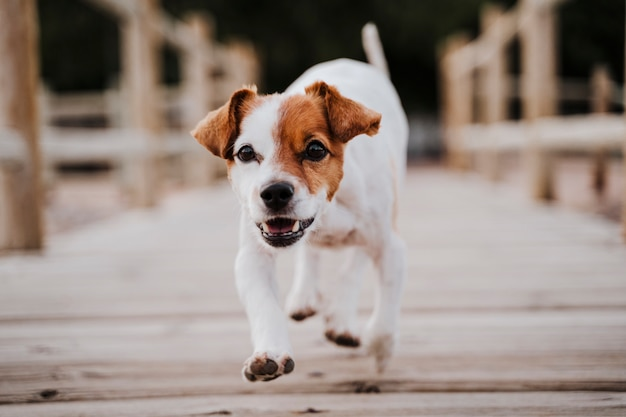 Cute small jack russell terrier dog running by a wood bridge outdoors and looking for something or someone. pets outdoors and lifestyle. close up