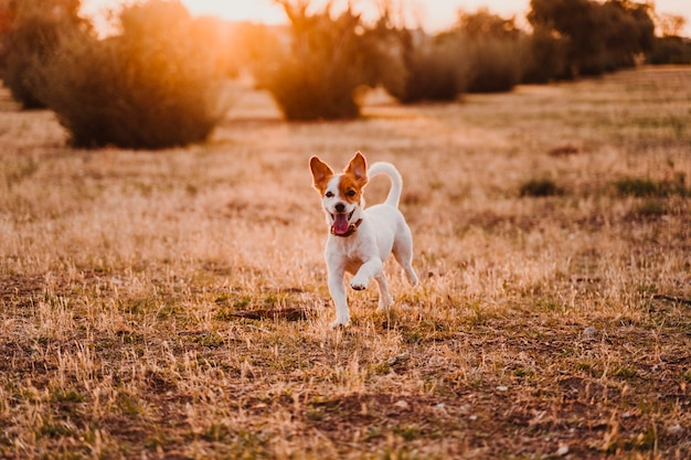 Cute small jack russell terrier dog running at sunset in a field. golden hour. pets and fun outdoors