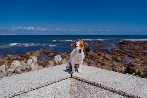 カメラを見て屋外に座っているかわいい小さなジャックラッセルテリア。晴れた日に海と岩の背景。