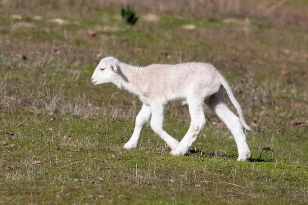시골에서 귀여운 작은 어린 양