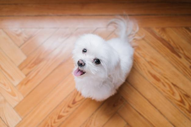 Cute small maltese dog at home