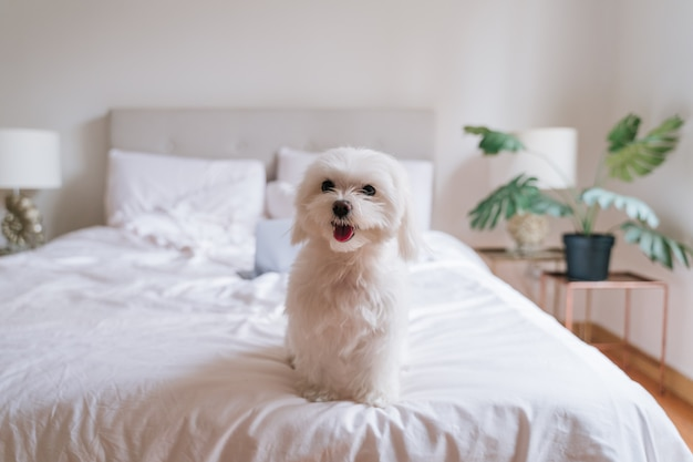 Cute small maltese dog sitting on bed