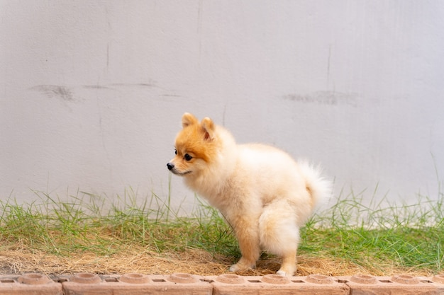 Cute small pomeranian dog pooping out of prepared area.