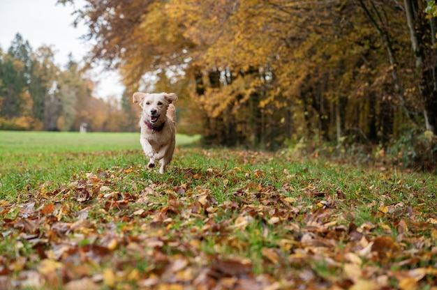 Cute small white dog running on a beautiful meadow by the autumn forest.