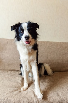 Cute smiling border collie on couch
