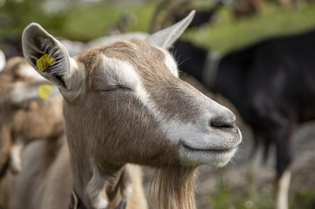 Симпатичная улыбающаяся коза посреди поля в яркий солнечный день