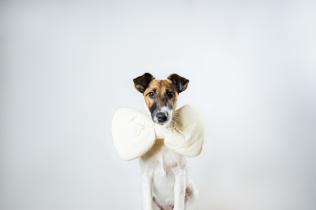Cute smooth fox terrier puppy with toy bow tie sitting in isolated . young dog with bow tie at home posing in white