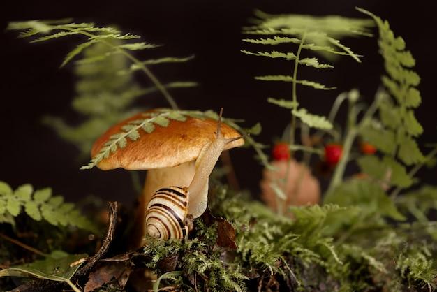 Милая улитка с полосатым панцирем ползет вокруг большого гриба подберезовик, растущего сквозь мох и опавшие листья в лесу