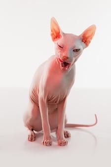 Симпатичная кошка сфинкс котенок позирует изолированной над стеной