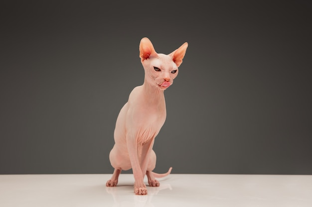 Cute sphynx cat kitty posing isolated over  wall