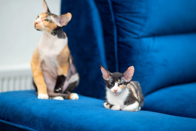 A cute sphynx mestizo kitten lies on the couch next to her mother.