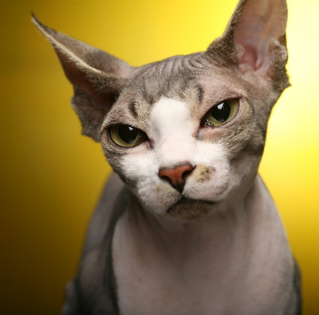Cute  sphynx on yellow background
