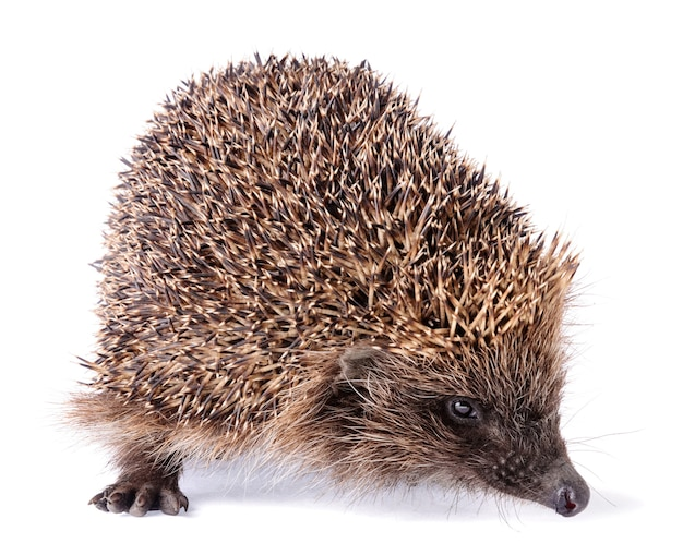 Cute spiky hedgehog isolated on white background. wild small insectivore mammal with spiny hairs.