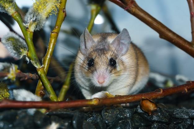 꽃이 만발한 버드나무 가지 아래에 있는 귀여운 가시쥐(akomys)