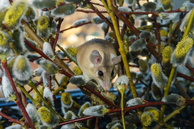 꽃이 만발한 버드나무 가지를 오르는 귀여운 가시쥐(akomys)