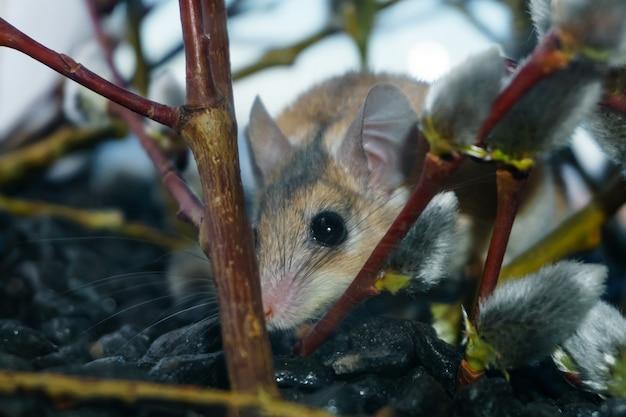 꽃이 만발한 버드나무 가지 사이에 숨어 있는 귀여운 가시쥐(akomys)