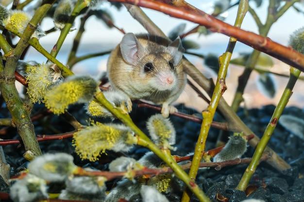꽃이 만발한 버드나무 가지를 뒤섞는 귀여운 가시쥐(akomys)