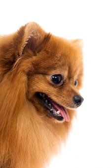 Cute spitz dog