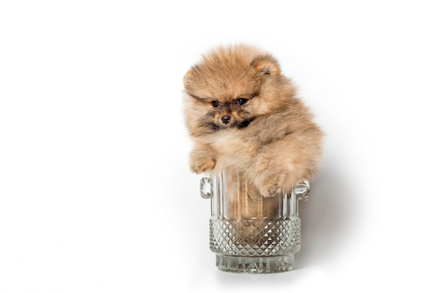 Cute spitz puppy in a beer glass
