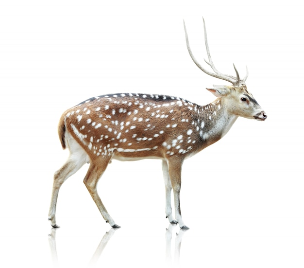Cute spotted deer isolated