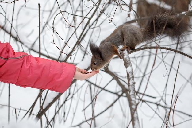 冬のシーン、餌、雪に覆われた公園や森でかわいいリス