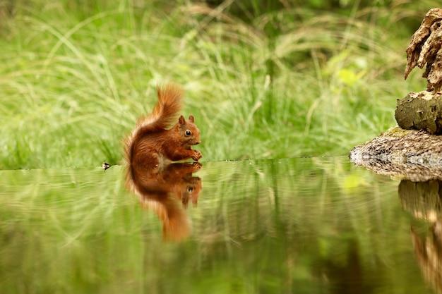 Милая белка пьет воду из озера в лесу