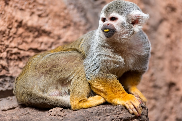 Cute squirrel monkey. saimiri sciureus.