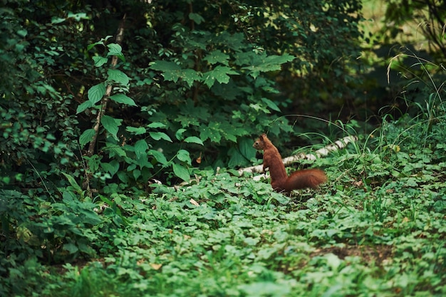 Cute squirrel in natural environment. conception of wildlife.
