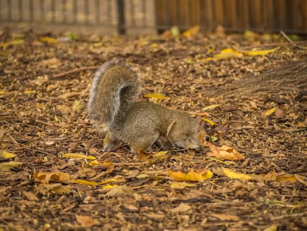 昼間に公園で乾燥したカエデの葉で遊ぶかわいいリス