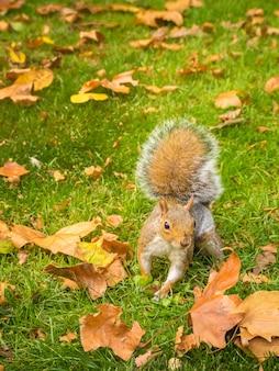 낮 동안 공원에서 떨어진 마른 단풍 나무 잎을 가지고 노는 귀여운 다람쥐