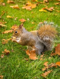 Милая белка играет с опавшими сухими кленовыми листьями в парке в дневное время