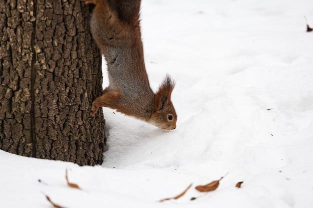 Милая белочка бегает вокруг ствола дерева в парке, на природе, белочка сидит и бегает по дереву.