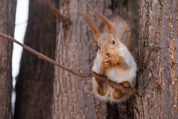 Милая белка сидит на ветке дерева и ест орех