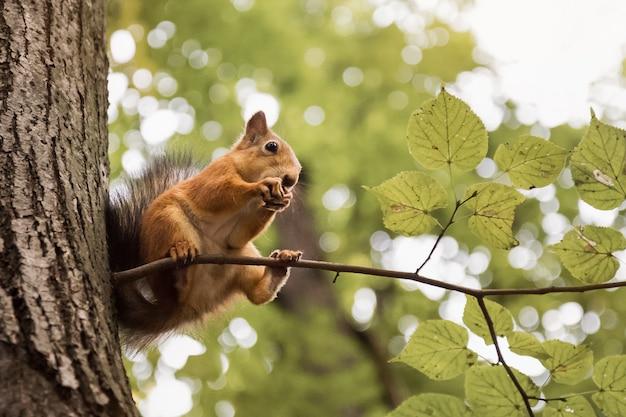 Милая белка сидит на дереве, ест орех