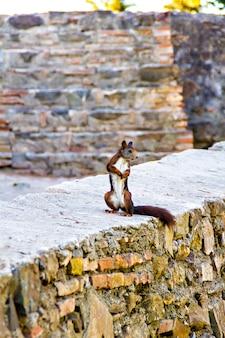 오래 된 돌 벽에 서있는 귀여운 다람쥐 프리미엄 사진