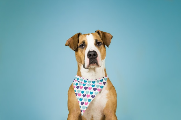 Cute staffordshire terrier dog in bandana with hearts